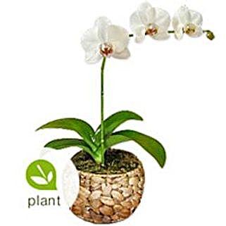 Cream BHRN: Orchids to Bahrain