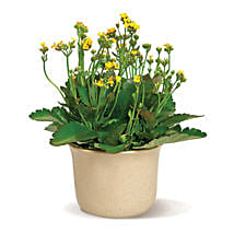 Charming Kalanchoe: Birthday Gift Delivery in Toronto