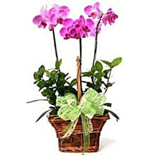 3 phalaenopsis orchids CIN: