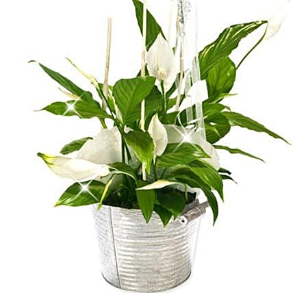 Peace Lily Bucket