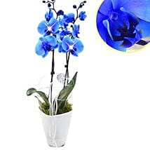 Loyal Blue Orchid: Birthday Gifts Delivery in Germany