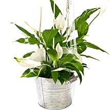 Peace Lily Bucket: Send Birthday Gifts to Germany