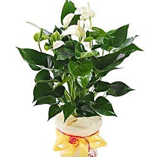 White Anthurium Pot: Send Plants to Germany