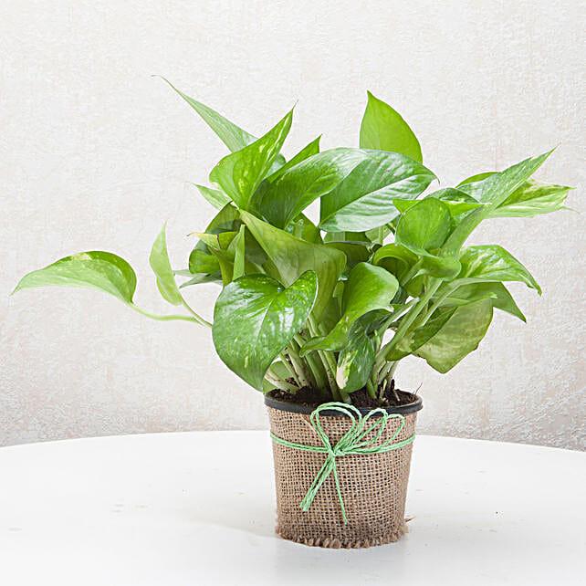 Gift Money Plant for Prosperity
