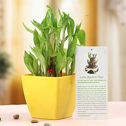 Square Pot with Lucky Bamboo