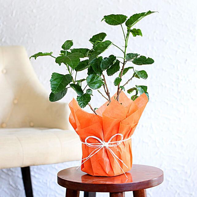 Tropical Hibiscus Plant
