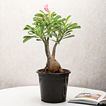 Adenium Desert Rose: Plants to Noida