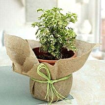 Aeralia Plant In Pot: Medicinal Plants