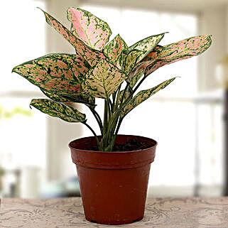 Aglaonema plant: Plants For Terrace and Balcony