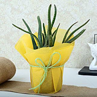 Amazing Aloe Vera Plant: