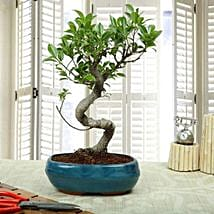 Amazing Bonsai Ficus S Shaped Plant: Send Plants to Bengaluru