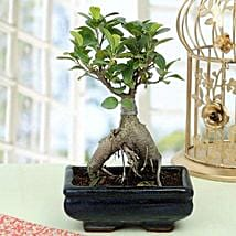 Appealing Ficus Ginseng Bonsai Plant: Plants to Bengaluru