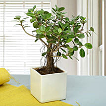 Attractive Ficus Iceland Bonsai Plant: Send Plants to Bengaluru