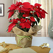 Beautiful Poinsettia Plant: Plants Delivery