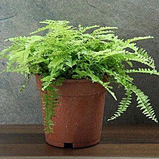 Boston Fern Plant: Send Plants to Lucknow