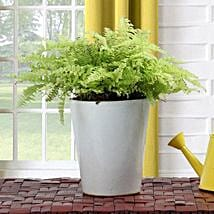 Boston Fern Potted Plant: Send Diwali Gifts for Clients