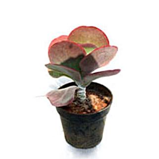 Chapati Cactus Plant: