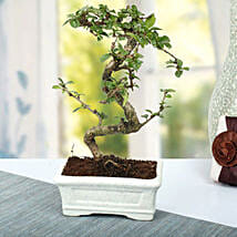 Charming Carmona S Shape Bonsai Plant: