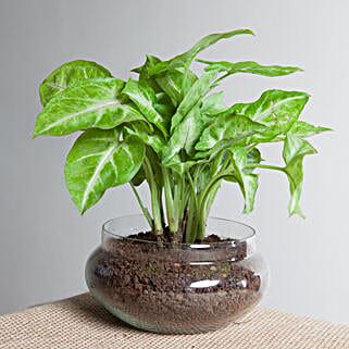 Classic Syngonium Golden Plant Terrarium: Send Plants to Indore