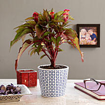 Cockscomb Pink Flowering Plant In Melamine Pot: Flower Plant