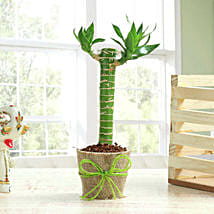 Cut Leaf Bamboo Plant: Children's Day Gifts