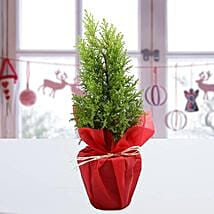 Cyprus Greenery Plant: Christmas Gifts? Delhi