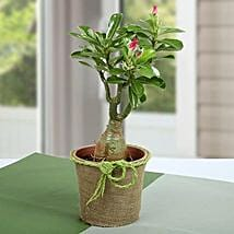 Desert Rose Beautiful Plant: Father's Day Gifts to Qatar