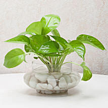Divine Money Plant Terrarium: Living Room Plants