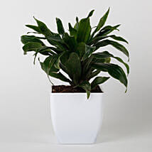 Dracaena Compacta Plant in White Imported Plastic Pot: Plants Delivery Today