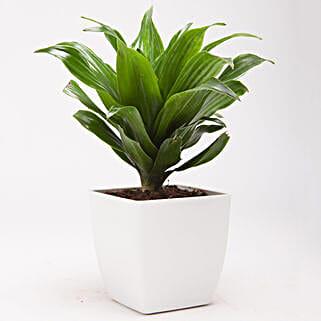 Dracaena Compacta Plant in White Plastic Pot: Cactuses & Succulents