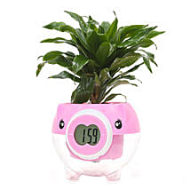 Dracena Plant: Send Plants for Him