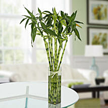 Eleven Spiral Bamboo Plant: Good Luck Plants for Anniversary