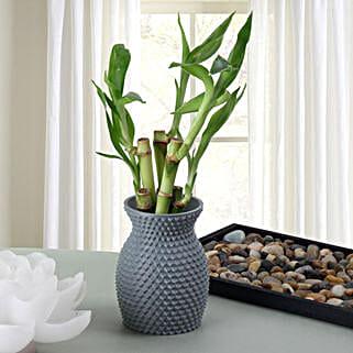Energizing Bamboo Plant: