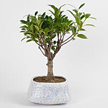 Evergreen Ficus Ball Shaped Bonsai Plant: Send Plants to Lucknow