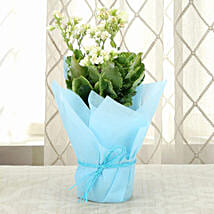 Exotic Kalanchoe Plant: Send Plants to Lucknow