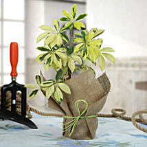 Eye Catching Schefflera Plant: Same Day Delivery Gifts