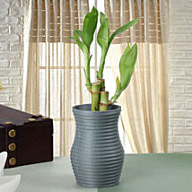 Feel Lucky Bamboo Plant: Lucky Bamboo to Pune