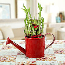 Feng Shui Bamboo Plant: Valentines Day Lucky Bamboo