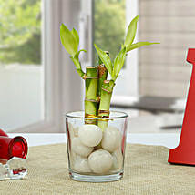 Get Lucky Bamboo Plant: Diwali Gifts for Husband