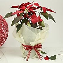 Gorgeous Poinsettia Plant: Send Plants for Valentines Day