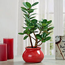 Green Ficus Dwarf Beauty Plant: Send Plants to Bengaluru