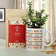 Green Plant With Tea: Crassula Plant