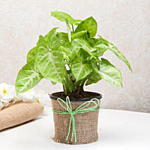 Hue of Green Syngonium Plant: Womens Day Gifts to Pune