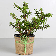 Jade Plant in Black Plastic Pot: Living Room Plants