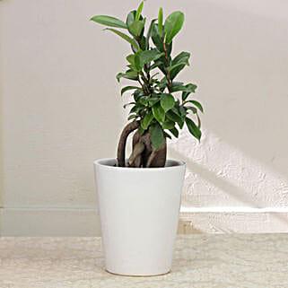 Keepsake Ficus: Send Plants to Meerut