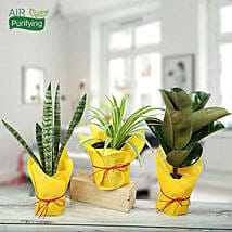 Live Green Trio Plants: Good Luck Plants for Mothers Day
