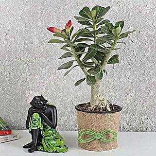 Lively Adenium Desert Rose Plant: Succulents and Cactus Plants