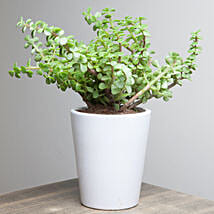 Lively Jade Plant: Good Luck Plants for Mothers Day