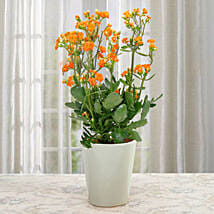 Love For Kalanchoe: Send Diwali Gifts for Clients