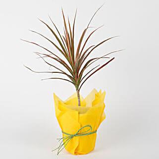 Lovely Dracena Mahatma Plant: